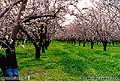 This photo of an almond orchard was taken on an overcast day in mid February. The wonderful aroma from millions of blossoms is as good as the beautiful view. The location is about midway between Chico and Oroville, CA. Butte County, CA 'Minolta X-700 35mm SLR' (Click for larger view)