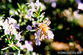Honey bee 'Nikon F100 35mm SLR' (Click for larger view)