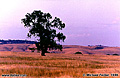 Lone oak tree in the northern California foothills, Folsom CA. 'Nikon F100 35mm SLR' (Click for larger view)