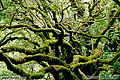 Moss covered tree. Taken in Muir Woods, CA. 'Nikon F100 35mm SLR' (Click for larger view)