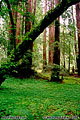Muir Woods, CA 'Nikon F100 35mm SLR' (Click for larger view)