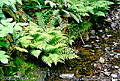 Ferns located next to a nice little stream. Muir Woods, CA 'Nikon F100 35mm SLR' (Click for larger view)