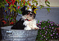 This is the newest member of our household, 'T.J.' He is a Shih-Tzu and weighs about 3 pounds in this picture. This photo was taken out in front of my house. 'Nikon F-100 35mm SLR' (Click for larger view)