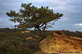 While hiking back to my car I took one last picture of a pine tree. Torrey Pines, CA 'D70 Digital SLR' (Click for larger view)